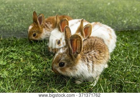 A Group Of Domestic Rabbits Sitting In The Garden.little Rabbits Eating Grass.newborn Animals And Pa
