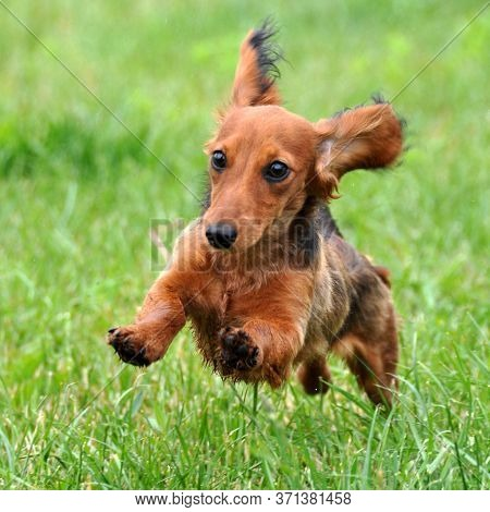 Funny Longhair Red Dachshund Dog Running Outdoors