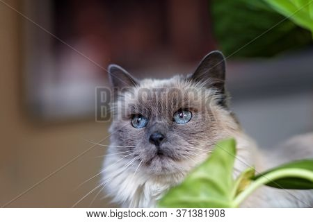 Female Long Haired Ragdoll Cat Inside A Home In Front Of A Plant