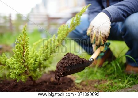 Gardener Planting Juniper Plants In The Yard. Seasonal Works In The Garden. Landscape Design. Landsc
