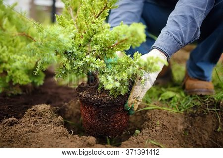 Man Planting Juniper Plants In The Yard. Seasonal Works In The Garden. Landscape Design. Ornamental