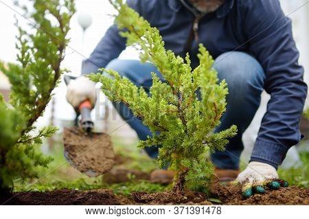 Gardener Planting Juniper Plants In The Yard. Seasonal Works In The Garden. Landscape Design. Landsc