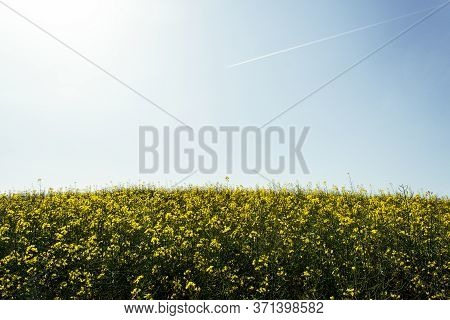 Beautiful Field Of Yellow Rape On Blue Sky And Flying Airplane. Rapeseed Flower. Growing Seeds Of Ag
