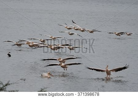 Great White Pelican Pelecanus Onocrotalus Also Known As Eastern White Pelican Rosy Pelican Or White
