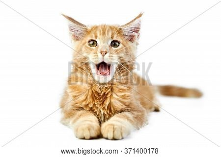 Meowing Maine Coon Kitten, Isolated. Cute Maine-coon Cat On White Background. Little Funny Purebred