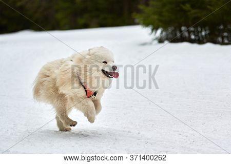 Running Samoyed Dog On Sled Dog Racing. Winter Dog Sport Sled Team Competition. Samoyed Dog In Harne