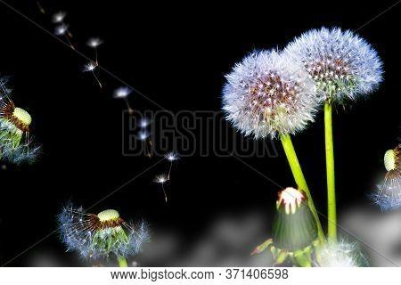 Fluffy Dandelion Flower Isolated On Black Background. Nature