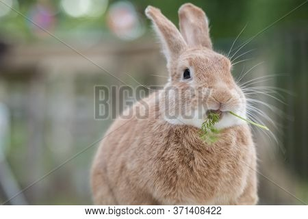 Rufus Rabbit Eating A Fresh Sprig Of Carrot Leaf On The Deck At Dusk In Soft Beautiful Light