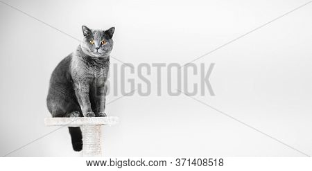 British Shorthair cat sitting on scratcher. Banner copy-space