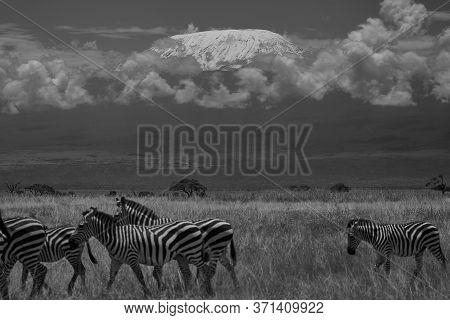 Plains Zebra Equus Quagga- Big Five Safari Black And White Stripped Kilimanjaro