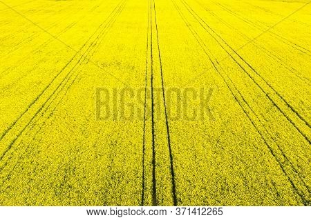 Yellow Rapeseed Field At The Sunset From Above. Sunlight Illuminates Yellow Canola. Agricultural Fie