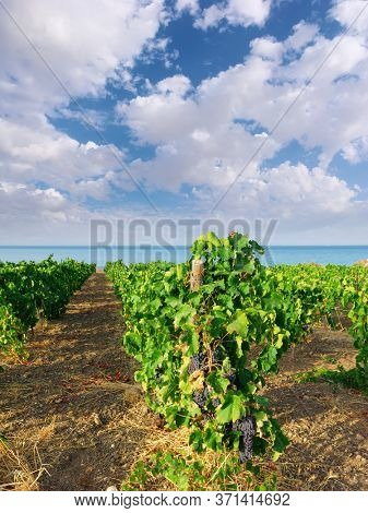 black grapes for wine ripening in a vineyard on the sea of Sicily in summer