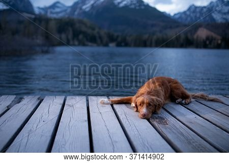 Dog In Mountains Lake, Wooden Bridge . Evening View. Traveling With Pets In Nature. Nova Scotia Duck