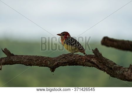 Red And Yellow Barbet Trachyphonus Erythrocephalus Africa Portrait
