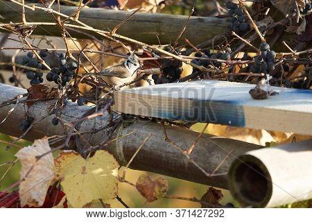 European Crested Tit Lophophanes Cristatus Parus Cristatus A Passerine Bird In The Family Paridae