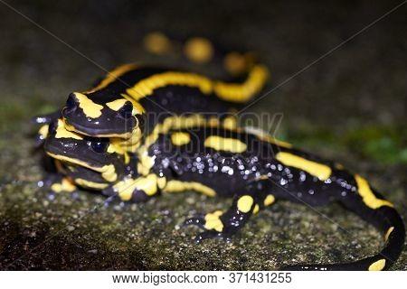 Fire Salamander Mating Salamanders Salamandra Salamandra Portrait Night Amphibian