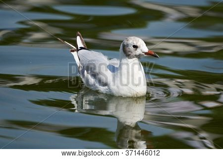 Black Headed Gull Chroicocephalus Ridibundus Small Gull In Water