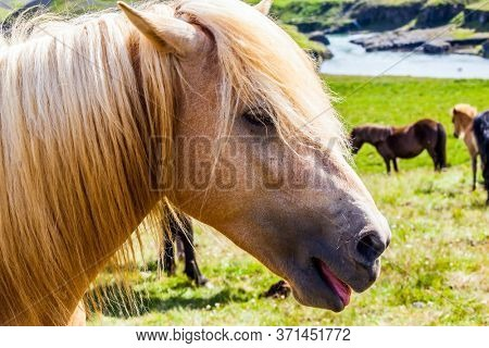 Portrait of a thoroughbred horse with a light mane. Beautiful and well-groomed Icelandic horses on a free pasture. Green fresh tall grass in summer tundra. Iceland. A journey of dreams.