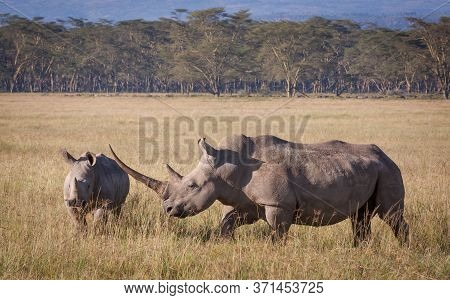 White Rhino With A Massive Horn And A Youngster Walking Through Lake Nakuru Plains Kenya