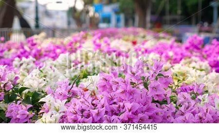 Lovely Purple And White Flowers Waved By Light Wind On Flowerbed Against Blurry Street With Building