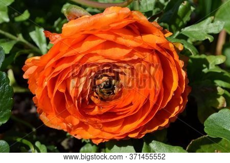 Close Up Of One Large Delicate Orange Flower Of Ranunculus Repens Plant Commonly Known As The Creepi