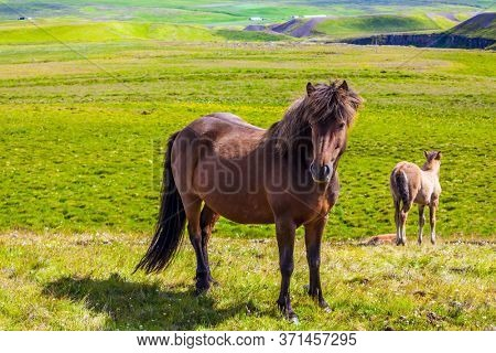 Portrait of a thoroughbred horse with a brown mane. Green fresh tall grass in summer tundra. Iceland. Strong Icelandic horses on a free pasture. Dream Journey to the North of the Earth