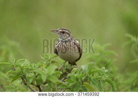 Larks Passerine Bird Alaudidae Tanzania Portrait Clear