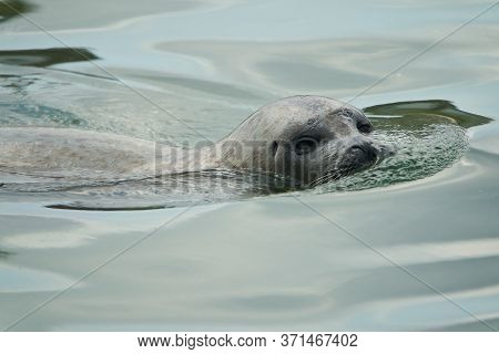 Harbor Or Harbour Seal Phoca Vitulina Also Common Seal And True Seal