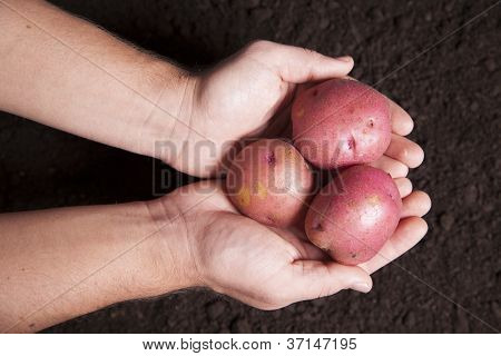 Hands Holding Potatoes