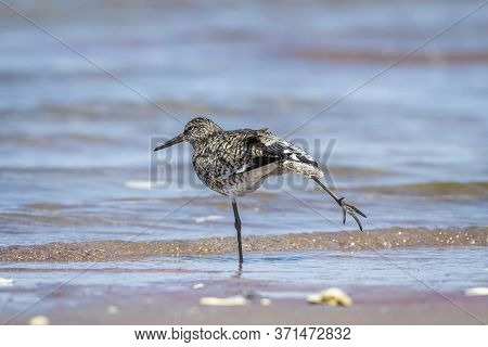 A Cute Adult Breeding Willet At The Cape Cod Beach Stretches One Of Its Legs Like A Dance Pose. Phot