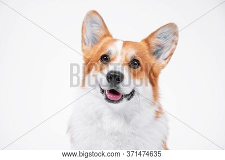 Portrait Obedient Dog (puppy) Breed Welsh Corgi Pembroke Smiling With Tongue On A White Background.