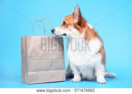 Cute Obedient Welsh Corgi Pembroke Or Cardigan Dog Sits On Blue Background, And Peeks Into Eco Frien