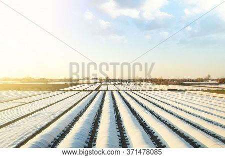 White Spunbond Rows On A Farm Field. Protective Coating For Corps And Plants. Spunbond Agrofibre Row