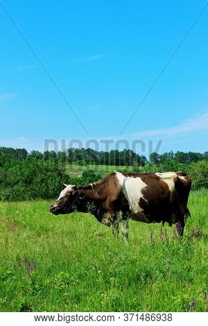 Cow Standing In Farm Pasture. Shot Of A Herd Of Cattle On A Dairy Farm. Nature, Farm, Animals Concep