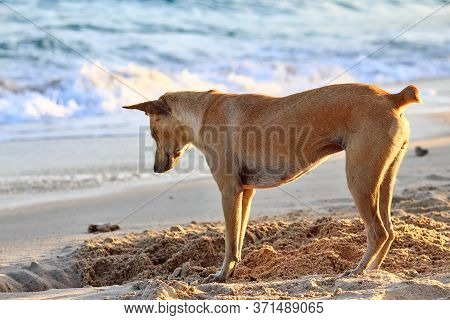 Color Image Of A Dog Digging Sandy Soil At A Beach On Koh Larn, Pattaya