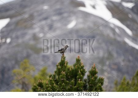 Spotted Nutcracker Also Eurasian Nutcracker Nucifraga Caryocatactes Passerine Bird Slightly Larger T