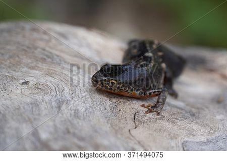 Alpine Newt Ichthyosaura Alpestris Amphibian Orange Belly