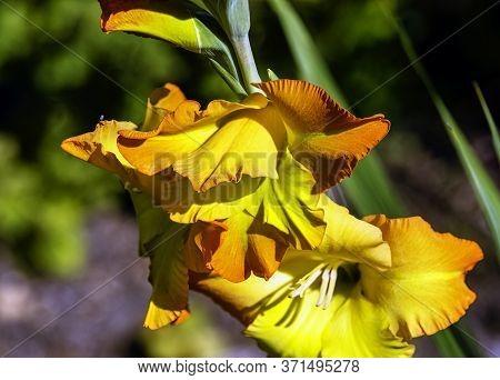 Iris Variegata Known As Hungarian Iris In British Park - London, Uk