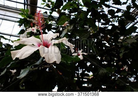 White Single Hibiscus Flower Pink Stamen Beautiful Petals