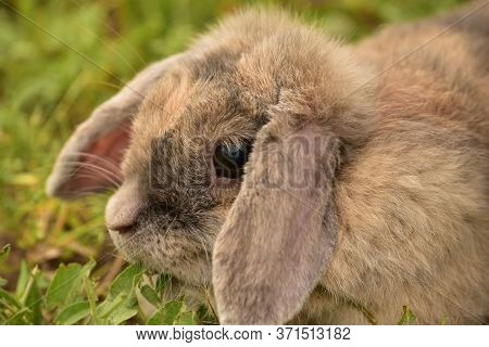 Decorative Gray Rabbit. Fluffy Gray-beige Rabbit On The Green Grass In Summer. Portrait Of A Rabbit.