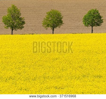 flowering rapeseed field with trees