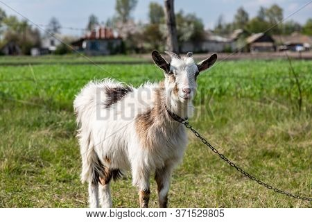 White Shaggy Goat On A Chain Leash In A Village On A Green Field. Horizontal Orientation.