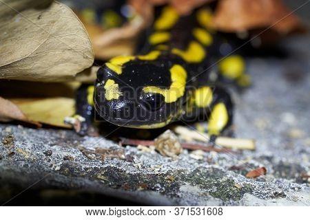 Fire Salamander Salamandra Salamandra Portrait Night Amphibian