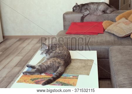 Young Cat Lies On A Table And A Cat Sleeps On A Sofa