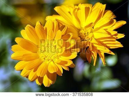 Calendula Officinalis Known As Pot Marigold, Ruddles, Common Or Scotch Marigold