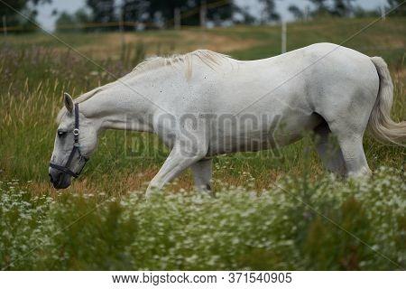 White Horse Equus Ferus Caballus Portrait Gras