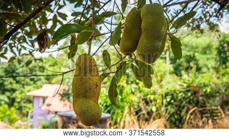 Fresh Ripe Jackfruit Hanging On The Tree Harvest At The Orchard With Nature Bokeh Background. It Is