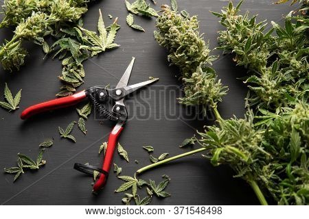 Mans Hands Trimming Marijuana Bud. Growers Trim Cannabis Buds. Harvest Weed Time Has Come.