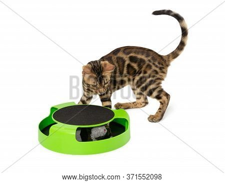 Bengal Kitten Plays An Interactive Toy Isolated On White Background.