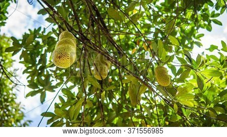 Group Of Fresh Ripe Jackfruit Hanging On The Tree Harvest At Orchard With Nature Bokeh Background. I